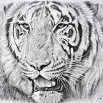 Study of Portrait Head Tiger